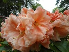 """Rhododendron """"Orange Prelude""""   Photo by Jan R.Fuller"""