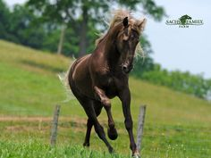 Sachs Family Farm - Buy or Stud a Rocky Mountain Horse, Tennessee Walking Horse, or Spotted Saddle Horse