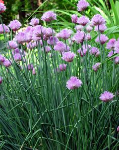 These are my Chives, they are usually the first to peek their heads above the ground...