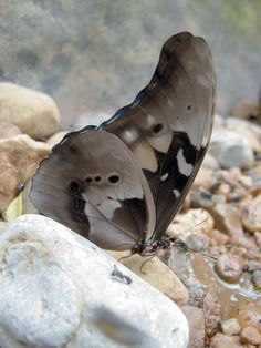 Morpho Butterfly, Achilles, Moth, Animals, Animales, Animaux, Animal, Animais