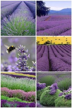 This picture makes me want to have a lavender farm.