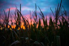 Corn Colors