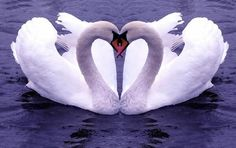 Swans only have one partner for their whole life if their partner dies they could pass away from broken heart. :) pic.twitter.com/VCDSj8M7R2