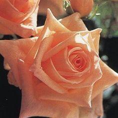 oltre 1000 idee su rosier buisson su pinterest rosier tige cespugli di rosa e meilland. Black Bedroom Furniture Sets. Home Design Ideas