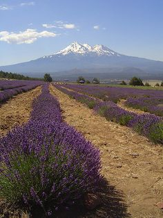 At Mount Shasta Lavender Farm California
