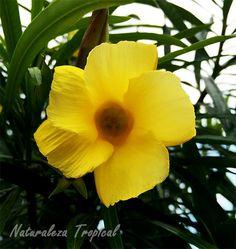 Plantas con floraciones hermosas pero peligrosas para la salud
