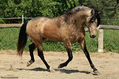cheval champagne pommelé - Recherche Google