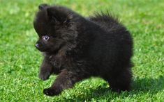 Hottest Pic dogs and puppies pomeranian Strategies Conduct you adore your canine? Of course, a person do. Good canine treatment and coaching will assure both yo Black Pomeranian Puppies, Cute Pomeranian, Cute Puppies, Cute Dogs, Dogs And Puppies, Teacup Puppies, Doggies, Baby Animals, Cute Animals