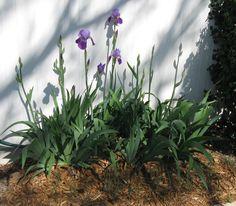 2012 - My purple Bearded Iris