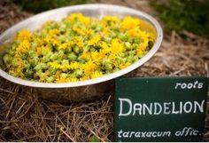 Dandelions harvested on the Jurlique farm. Taraxacum, Jurlique, Garden Soil, Early Spring, How To Dry Basil, Harvest, Roots, Seeds, Wellness