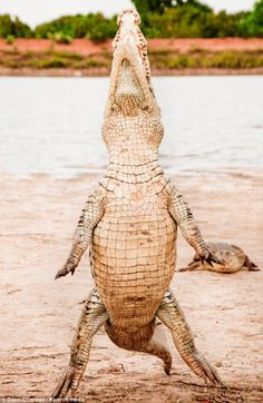 12-foot crocodile stands up in Bazoule village in Burkina Faso