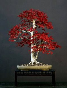 Bonsai: red maple in Autumn color
