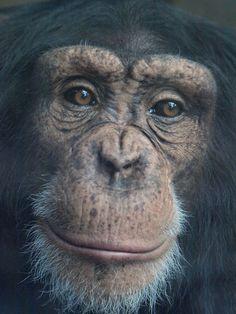 panthoots:  Rodders, Monkey World-Ape Rescue Centre, UK