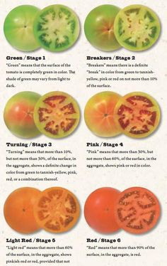 Different Stages of Ripening for Tomatoes » The Homestead Survival