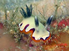 The Ordelheide Odyssey: April 2010 a Chromodoris fidelis which only grows to between 20-25 mm in length
