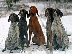 German Shorthaired Pointers and Hungarian Vizsla.