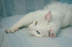 Gluttony esbanjando meiguice e/ou carência  1/3 :: Projeto Xerimbabo ~  #petphotography #fotografiapet #pet #animal #animaux #bicho #amobicho #bichano #gato #mãedegato #horadogato #gatosbrasil #loucadosgatos #instagato #gatto #chat #neko #nekostragam #cat #catlovers #catsofinstagram #instacat #caterday #lovecats #meowmeow #canon #canonbr #135mm #xerimbaboproject #eyes
