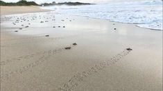 Hatchling releases (baby sea turtles)