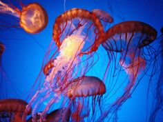 Fleet of Golden, Long-Tentacled Jellyfish, California Photographic Print by Sisse Brimberg at AllPosters.com