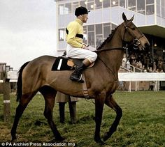 Arkle - Legendary Irish horse, winner of three Cheltenham Gold Cups highest ever rated steeple-chaser, partnered throughout his career by Pat Taaffe Post War Era, Sport Of Kings, Thoroughbred Horse, Horse World, Racehorse, Horse Riding, Courses, Beautiful Horses, Equestrian