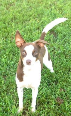 Sugar Sanctuary Dog is an adoptable Dog - Miniature Pinscher Mix searching for a forever family near Prague, OK. Use Petfinder to find adoptable pets in your area.