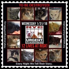 "TO BE DESTROYED 01/31/18 - - Info   Please share View tonight's list here: http:// nyccats.urgentpodr.org/ tbd-cats-page/. The shelter closes at 8pm. Go to the ACC website( http:/www.nycacc.org/ PublicAtRisk.htm) ASAP to adopt a PUBLIC LIST cat (noted with a ""P"" on their profile) a… CLICK HERE FOR ADDITIONAL INFO/P...-  Click for info & Current Status: http://nyccats.urgentpodr.org/to-be-destroyed-32017/"