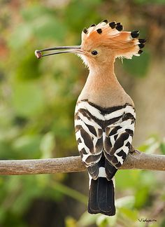 Poupa Hoopoe - this one is in contention for 1st place with the blue footed boobie!!!!