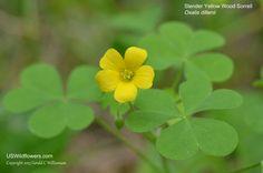 Oxalis dillenii - Slender Yellow Woodsorrel, Southern Yellow Wood-sorrel, Dillen's Oxalis.