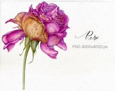 Set of watercolor botanical art. by Mary on Botanical Illustration, Botanical Prints, Graphic Illustration, Art Illustrations, Wonder Woman Drawing, Corporate Brochure Design, Peony Rose, Flower Clipart, Stationery Paper