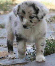 mini australian shepherd puppies - Google Search: Australian Shepherd Puppy, Australian Shepherds Puppy, Mini Australian Shepherds, Australian Shepherd Puppies, Mini Aussie, Animal, Miniature Australian Shepherd