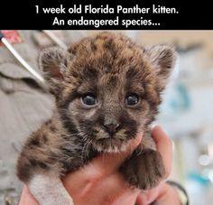 A endangered little fella, Florida Panther kitten, puppy, wild animals, wild cats, pantera della Florida, pericolo di estinzione