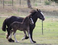 Our First Foal - Darkmoor Shire Horse Stud