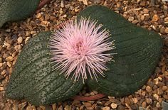 Massonia pustulata -- a striking species with rose-scented, white to pink shaving brush flowers of long stamen filaments, offset by pustulate green to purple or purple-streaked leaves. Most species of Massonia are pollinated by bees and butterflies.