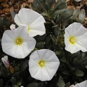 Convolvulus cneorum (Shrubby bindweed) Get care advice to your inbox every month - add this plant to your personal list. Vertical Planting, Sun Loving Plants, London Garden, Evergreen Shrubs, Plant Wall, White Flowers, Garden Design, Landscape, Advice