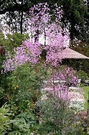 Thalictrum Splendide Haut 175 cm x 60. Sa floraison importante du milieu d'été à la fin de l'automne est spectaculaire