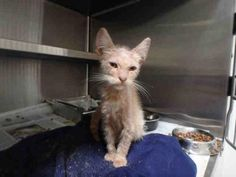 A1647532 - URGENT - CITY OF LOS ANGELES SOUTH LA ANIMAL SHELTER in Los Angeles, CA - Male KITTEN Domestic SH *NEEDS MEDICAL ATTENTION*