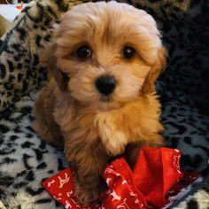 """Buddy on Instagram: """"Puppy dog eyes! 🐶❤️🐶 • • • • • • • • • 🐶❤️🐶 #furbaby #puppypower #maltipoo #puppy #maltipoopuppy #dogsofinstagram #puppies…"""" Dog Eyes, Maltipoo, Puppies, Dogs, Animals, Instagram, Animales, Animaux, Doggies"""