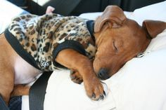 this is the reason doxie owners ARE doxie owners...the doxie puppy is irresistible