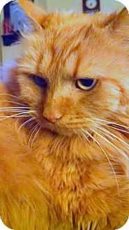 HILLSBORO, OR - Domestic Longhair. Meet Milo 'Offered by Owner' Female, a cat for adoption. http://www.adoptapet.com/pet/12713445-hillsboro-oregon-cat