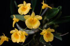 Dendrobium aggregatum Var. Lindleyi - Flickr - Photo Sharing!