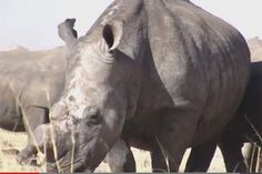 Two California men were indicted by a Las Vegas federal grand jury Wednesday on charges of illegally selling the horns of the endangered black rhinoceros.