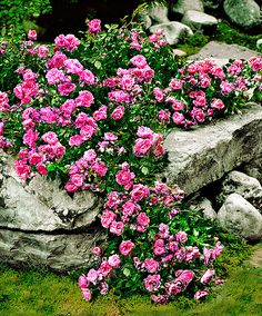 oltre 1000 idee su rosier couvre sol su pinterest cespugli di rosa rosier buisson e rosier tige. Black Bedroom Furniture Sets. Home Design Ideas