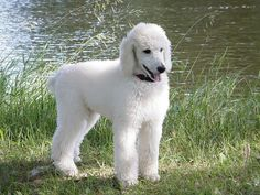 """Standard Poodle """"Abby"""" 8 