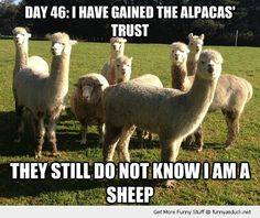 Alpacas vs Sheep