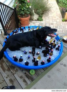 """Cooling off he is probably thinking """"this is my pool and you have stolen it for your drinks, well I am going to have it anyways. Cause it is mine!"""""""