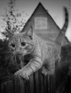 """land-like-a-cat: """"Evening walk by Csyyt """" Cute Cats And Kittens, Cool Cats, Kittens Cutest, Pretty Cats, Beautiful Cats, Animals And Pets, Cute Animals, Gato Grande, Orange Cats"""