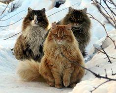 Fluffy Norwegian Forest cats