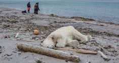 Norwegian authorities said a polar bear on Saturday attacked and injured a polar bear guard who was leading tourists off a cruise ship on an Arctic archipelago. The polar bear was shot dead by another employee, the cruise company said. Bear Attack, Animal Attack, Arctic Cruise, Polaroid, Arctic Circle, Habitats, Animal Rescue, Norway, Pets