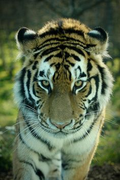 Amur Tiger, Highland Wildlife Park, Kingussie, Scotland ~ Photo by Rob_Brooks