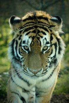 Amur Tiger, Highland Wildlife Park, Kingussie, Scotland ~ Photo by Rob_Brooks Via Flickr
